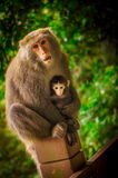 Monkey mother holding the baby Stock Photos