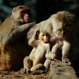 Monkey family. The toilet of a family of monkeys stock image