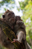 Monkey family on the tree Stock Photography