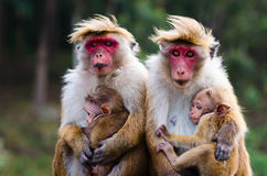 Monkey family. With two babies. Red faces macaque (Macaca fuscata stock image
