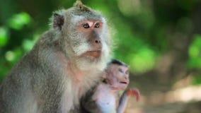 Monkey family in uluwatu temple, bali stock video footage