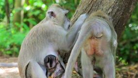 Monkey family in uluwatu temple, bali stock footage