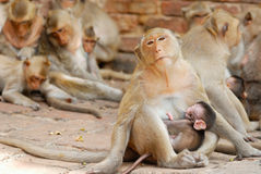 Monkey family Stock Photography