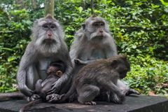 Free Monkey Family With Baby And Adults In The Forest Stock Photos - 29014903