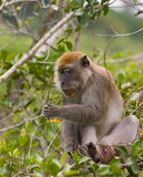 Monkey feeding Royalty Free Stock Photography