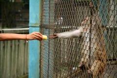 Monkey feeding. Monker reaching through cage for food Stock Photos
