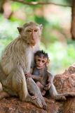 Monkey feeding. Monkey mother feeding her child Stock Photo
