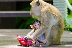 Monkey feeding baby Royalty Free Stock Image