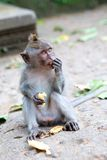 Monkey feeding on banana. Stock Photography