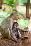 Monkey feeding her baby. Mother monkey feeding her child Stock Image