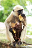 Monkey feeding her baby and herself. Motherly love of a monkey being depicted beautifully in the image Royalty Free Stock Photos