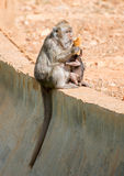 Monkey feeding her baby. Stock Images