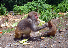 Monkey Feeding its Kid! Stock Image
