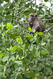 Monkey feeding on wild fruits Stock Photography