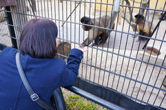 Monkey feeding Royalty Free Stock Photo