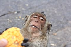Monkey feeding Stock Photos