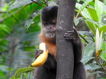 Monkey feeds on banana in the forest Stock Photography