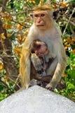 The monkey feeds its child. stock image