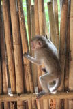 Monkey. The feeling of a little monkey on the chest to the outside world royalty free stock image