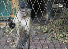 Monkey. A monkey feeling loneliness and sadness behind jail in zoo Royalty Free Stock Photography
