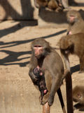 Monkey female with her brood. Zoo Madrid. Spain. Monkey female with her brood, within the Zoo Madrid . Spain. Common name: Papión Scientific name: Papio stock photo