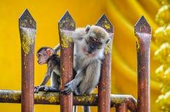 Monkey on the fence at Batu Caves, Malaysia Royalty Free Stock Image