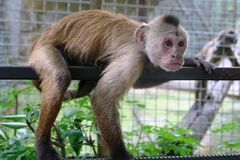 The monkey is on the fence royalty free stock images