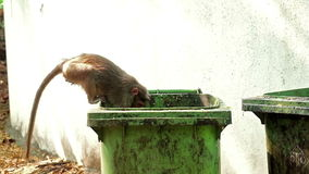 Monkey fetching Food out of dirty Trashbucket stock footage