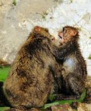 Monkey fight Royalty Free Stock Image