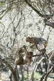 Monkey fight. Barbary macaques who fight. Gibraltar stock image