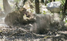 Monkey fight. Barbary macaques who fight. Gibraltar royalty free stock image