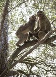 Monkey fight. Barbary macaques who fight. Gibraltar royalty free stock photo