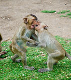 Monkey. Fighter with friend thailand stock photos