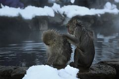 Monkey find some insect. Monkey find some insect to another monkey Stock Photos