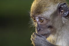 Monkey with fingers in mouth Royalty Free Stock Photo