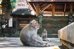 Monkey a floresta, Ubud, Bali, Indonésia Imagens de Stock