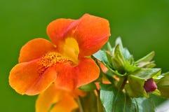Monkey flower and bud Royalty Free Stock Image