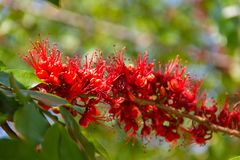 Monkey Flower Tree, Fire of Pakistan scientific name. : Phylloc. Arpus septentrionalis Donn. Smith. The red flower beautiful bloom on a tree. Nature background Royalty Free Stock Photography