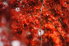 Monkey Flower Tree, Fire of Pakistan scientific name. : Phylloc. Arpus septentrionalis Donn. Smith. The red flower beautiful bloom on a tree. Nature background Royalty Free Stock Photos