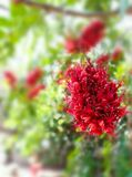 Monkey Flower Tree, Fire of Pakistan scientific name. : Phylloc. Arpus septentrionalis Donn. Smith. The red flower beautiful bloom on a tree. Nature background Royalty Free Stock Photo