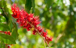 Monkey Flower Tree, Fire of Pakistan scientific name. : Phylloc. Arpus septentrionalis Donn. Smith. The red flower beautiful bloom on a tree. Nature background Stock Image
