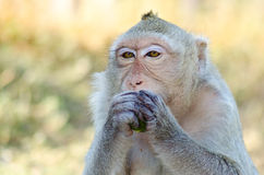 Monkey focus on the food. Close-up monkey focus on the food royalty free stock photos