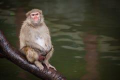 Funny baboon monkey Stock Images