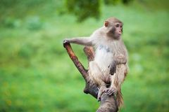 Funny baboon monkey. A Funny baboon monkey focus at something royalty free stock photos