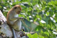 Monkey focused Stock Image