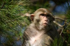 Monkey Focused on an Unseen Object Royalty Free Stock Image