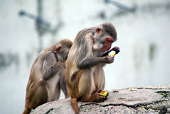 Monkey with food. Two monkeys sitting together and eating some fruits Royalty Free Stock Image