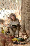 Monkey Food Royalty Free Stock Photography