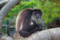 Monkey in the forest. Monkey on the branch in Honduras cultural village Stock Photo