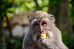 Monkey forest, Bali. Handed out bananas to the monkeys in the monkey forest on Bali Royalty Free Stock Images